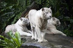 IMG_2623 (Marc Aurel) Tags: zoo singapore tiger tigre singapur whitetiger zoologischergarten singaporezoo weddingtrip hochzeitsreise bengaltiger pantheratigris zoologicalgarden königstiger pantheratigristigris royalbengaltiger pantheratigrisbengalensis weisertiger 5dmarkii eos5dmarkii indischertiger tigrebiancha