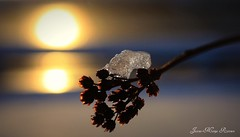 (Jaana-Marja) Tags: sunset sea sun snow plant flower reflection ice water iceland seeds icecube
