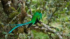 Resplendent Quetzal (Raymond J Barlow) Tags: travel bird costarica wildlife adventure resplendentquetzal phototours raymondbarlowtours