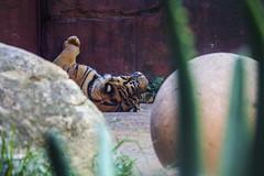 IMG_1552 (rojam1000) Tags: birds penguin gorilla bears tiger lion deer leopard lemur tigers lions crocodile seals monkeys cheetah amphibians lizards apes bigcats cheetahs reptiles primates meerkats leopards