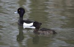 Birds - kuifeenden (markies22) Tags: bird duck waterfowl eend vogel tuftedduck kuifeend watervogel
