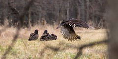 Taking Off (ramseybuckeye) Tags: life county ohio art pentax killdeer wildlife marion area vulture buzzard plains wyandot turkeu k30 da300