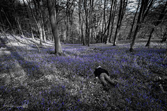 Bed of Bluebells FDT (#89) (Forty-9) Tags: flowers trees sea blackandwhite bw bluebells canon landscape woods may tuesday lightroom facedown wenallt 2016 seaofblue efs1022mmf3545usm fdt efslens eos60d facedowntuesday seaofbluebells rookietom tomoskay 03052016 bedofbluebells 3rdmay2016