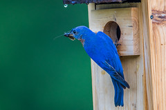 Male Eastern Bluebird (Bill Varney) Tags: food male bird rain bug insect babies feeding bokeh outdoor wildlife birdhouse bluebird eastern avian nesting billvarney