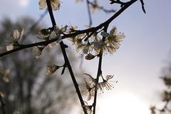 Flowering Triangle (Prunus spinosa, Schlehe, Sloe, Blackthorn) (Baerb) Tags: flower tree blackthorn sloe prunusspinosa schlehe wildpflanze gehlz