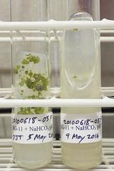 ORNG0715 (David J. Thomas) Tags: culture cave algae microbiology slant agar cyanobacteria phycology lyoncollege bg11 photobiont phycobiont