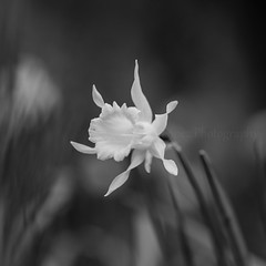 Narciso (Julin Lpez Photography) Tags: macro monocromo flora narciso blanconegro