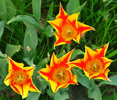 Stars! (Anna's 50) Tags: fromabove tulips inside canong1x powershotg1x g1x canonpowershot canon compact
