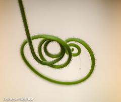 Curls (asheshr) Tags: abstract macro vines nikon bokeh curves vine curls beautifulmacro d7200 nikond7200