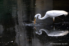 Great egret in action (Thalib) Tags: bird action srilanka egret reflextion