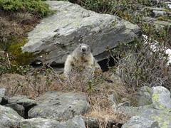 DSC01864 (bleausard2) Tags: marmot murmeltier marmotte mungg