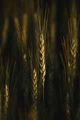 Catch the Light (Trevan Hiersche) Tags: light sunset grass june evening montana outdoor wheat grain richard plains molt goldenhour billings crazies
