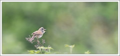 bla bla bla ... (guiguid45) Tags: bird nature nikon oiseaux sauvage loiret commonwhitethroat sylviacommunis 500mmf4 d810 fauvettegrisette