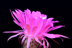 Image1741RR (staffordlaura1955) Tags: pink cactus nature outdoors desert bloom stafford blooming cereus