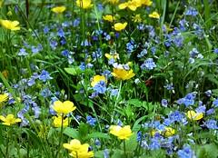2016-05-19 secret wood (33)blue and yellow (april-mo) Tags: flowers fleurs veronica wildflowers springflowers buttercups yellowandblue boutonsdor jauneetbleu vronques