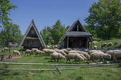 chtne stado na szlaku (PanMajster) Tags: trip sun mountains weather fun sheep pentax hiking goat curiosity herd gry k5 soce rycerzowa koza stado owca beskid wielka ciekawo