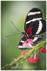 Doris Longwing Butterfly (Jeffrey Johnson ~~jupitersolo) Tags: flowers macro colors butterfly insect wings nikon butterflies micro brightcolors dorislongwing nikond500 nikon105micro