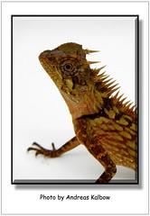 Acanthosaura bitangensis (14) (Vogelfoto69) Tags: acanthosaura bitangensis nackenstachler terrarium brse holland houten echse jungtier grn rot stacheln terraristik herpethologie dinosaurier lebend lebender malaysischer malaysia asien borneo