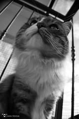 _DSC7622bw (chiaratrevisan68) Tags: cats sun nuvole cielo sole gatto domestici animali zampa siberiano