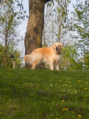 Sunny 21/52 (Lianne (calobs)) Tags: dogs for golden sunny retriever weeks 52 auparc enpromenade