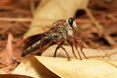 Robber Fly (Asilidae) (John Horstman (itchydogimages, SINOBUG)) Tags: china macro topf25 insect fly yunnan robber diptera asilidae itchydogimages sinobug