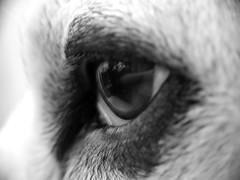 Curly Pops (dawn_macroart) Tags: dogs eye fur texture animals pets monochrome arty