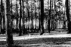 095.2016 (Francisco (PortoPortugal)) Tags: 0952016 20160311fpbo26882 pinhal pinewood contraluz backlight esmoriz portugal portografiaassociaofotogrficadoporto pb bw franciscooliveira