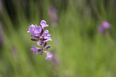IMG_6692 (Ludmila Leonie) Tags: lavande fleurs esthetique color joyeux canon canoneos60d violet douceur soft feelings flowers beauty purple window happy sunday sunny sunnydays soleil summer t