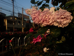 Rainy Blue (Shiori Hosomi) Tags: flowers plants rose japan tokyo may rosa    rosales 2016 rosaceae     23