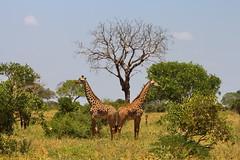 Kenya, Tsavo East Park (antony5112) Tags: kenya tsavoeastpark parco animali alberi animals trees giraffe giraffa giraffes savana savannah safari
