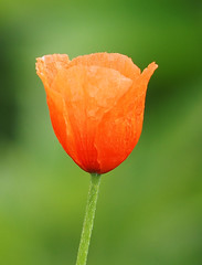 Wiosna Frhling Spring (arjuna_zbycho) Tags: flower fleur fleurs spring flora maki natur blume popy mak wiosna mohn kwiat cornpoppy badenbeiwien klatschmohn mohnblume redpoppy coquelicots papaverrhoeas redweed mohnblumen fruhling heilpflanze fieldpoppy cornrose popies pavots klatschrose rosolaccio flanderspoppy hausmittel czerwonemaki popyflower makpolny gatunekleczniczy kwiatypolne papaverocomune kznsgespipacs vetsipipacs