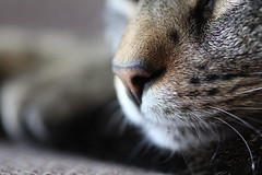 Tigernschen (yshija) Tags: animal cat nose nase