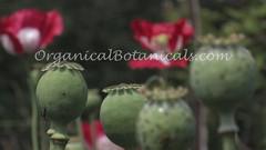 Danish Flag Papaver Somniferum Opium POPPY Pods n Flowers by- OrganicalBotanicals_Com 5 (gjaypub) Tags: flowers plants nature silhouette photography pod photos gardening bees seed seeds poppy poppies growing opium pods cultivation papaver somniferum morphine cultivating papaversomniferum 2016 potency poppyhead alkaloids organicalbotanicals