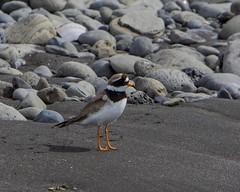 Ringed Plover (ingolfssonvalur) Tags: bird plover ringed charadriushiaticula sandla