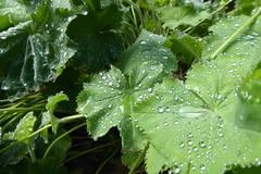nach dem Regen (erix!) Tags: frauenmantel regentropfen raindrops wassertropfen drops ladysmantle