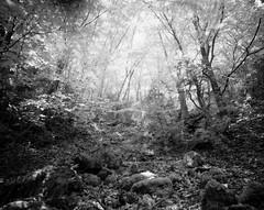 Ash grove Infrared (Escipi) Tags: sfx film hoyar72 ash forest bw selfdeveloped mamiya7 mamiya43mm