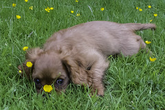 20160622_Hiding in the buttercups (Damien Walmsley) Tags: dog grass puppy games buttercups kingcharles