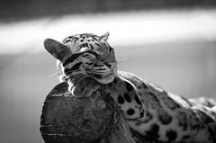 Clouded leopard (mellting) Tags: blackandwhite bw monochrome animal mammal zoo nikon flickr sweden bigcat sverige eskilstuna platser monocrome cloudedleopard parkenzoo neofelisnebulosa 500px djurparker bloggad nikond7000 mellting instagram matsellting sigma1506005063sport