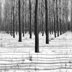 (Balzs Papdi) Tags: winter light shadow blackandwhite snow tree monochrome forest hungary fa magyarorszg fny h tl erd feketefehr rnyk monokrm csengele