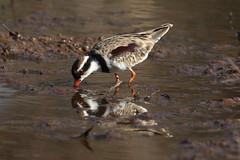 Dotterel.  Black-fronted (CampaspeBirdo) Tags: 202 australianbirds blackfronteddotterel elseyornismelanops fostervillevic