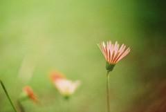 (yttria.ariwahjoedi) Tags: plant flower green film grass analog canon garden indonesia botanical dof ae1 bokeh peach petal raya bogor kebun