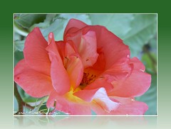 Rose presque fane (SMartine) Tags: roses france art fleurs canon martinesodaigui