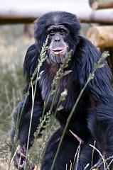 A519-Ereccin involuntaria (Eduardo Arias Rbanos) Tags: look animals sex nude penis zoo nikon sexo animales chimpanzee erection mirada desnudo pene d300 chimpanc ereccin eduardoarias eduardoariasrbanos
