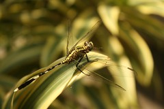 dragon fly...! (nishank reddy) Tags: life light shadow sun india plant beautiful leaves yellow canon stem asia bright dragonfly bokeh awesome daytime lovely hyderabad simple pleasant atoms matter goodwork yellowish pleasing canon1000d