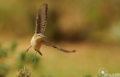 FLY (Faisal Alzeer) Tags: bird bir