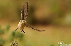 FLY (Faisal Alzeer) Tags: bird birds photography fly nikon arabia nikkor riyadh faisal ksa saudia              d300s   alzeer abonasser  300
