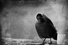 cheeky jackdaw ;) (akal_flickr) Tags: our time jackdaw