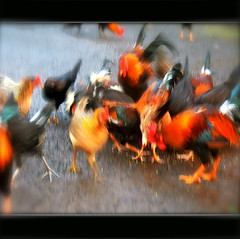 Monday: No More Beauty Sleep-ExploredFeb 12, 2012 #338 (Karen McQuilkin) Tags: painterly blur reflection chickens kauai rooster impressionist icm mondaymorning thelittledoglaughed intentionalcameramovement karenandmc nomorebeautysleep exploredfeb122012338