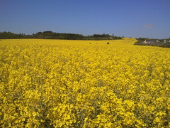 WINDING YELLOW SEA (Adam Swaine) Tags: county uk flowers blue england sky green english beautiful yellow rural landscape countryside kent flora britain east counties rapeseed naturelovers 2011 samsungmobile englishfields thisphotorocks englishlandscapes adamswaine gts8500 mostbeautifulpicturesmbppictures wwwadamswainecouk kentishlandscapes
