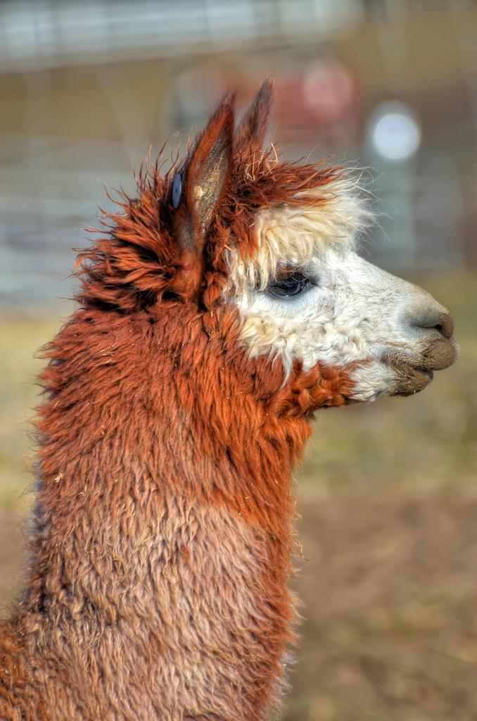 Closeup of an alpaca / 棕色羊駝(草泥馬)頭部特寫